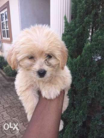Cute Lhasa puppies for sale. Alimosho - image 2