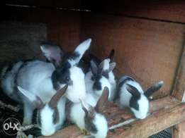I have different size of Rabbit for sale