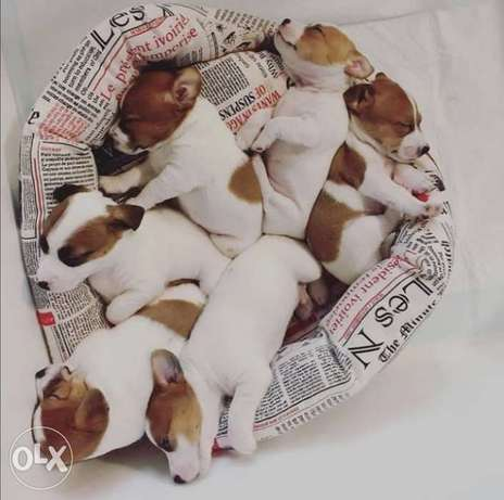 JackRussell dogs