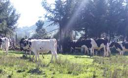 4 fresian heifers ready for insemination on sale