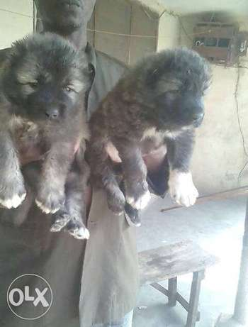 Caucasian puppies available both male and female Apapa - image 1