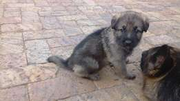 Pure Bred German shepherd puppys available