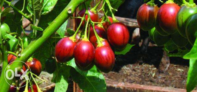 Tree Tomato 'Tamarillo' Seedlings for Sale in Kinoo Nairobi CBD - image 2
