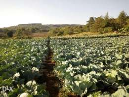 Hurry hurry Cabbages on sell at an affordable price, hurry up now