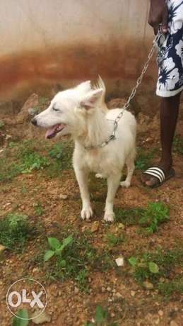 Adult female samoyed Ibadan - image 1