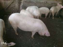 9months pigs ready for slaughter
