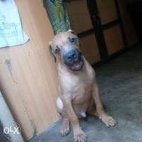 Male Boerboel Puppies for sale