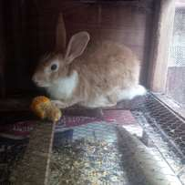 Healthy and Quality Rabbits and Guinea pigs for sale