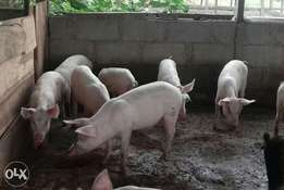 Matured well breed life Pigs
