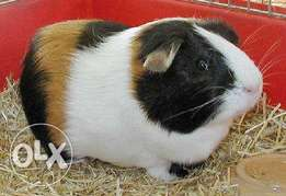 lovely and friendly coloured guinea pigs