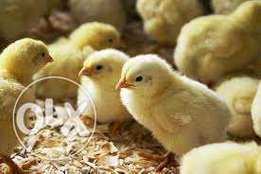 Best 1 month old vaccinated chicks