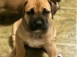 Well trained boerboel puppy