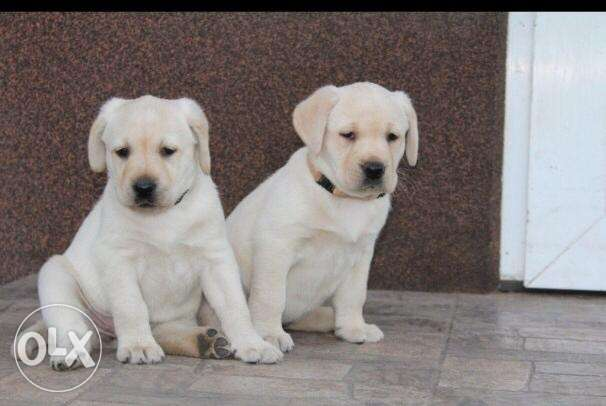 Top quality imported Labrador puppies with Pedigree