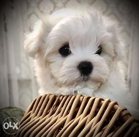 Maltese puppies Ready For Shipping From Kiev Full documents