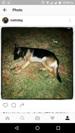 10000 ksh German Shepherd puppy Nyari - image 6
