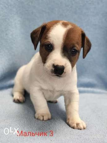 Imported Jack Russell Puppies you can get from Ukraine