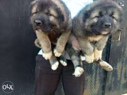 Pedigree Caucasian puppies available for sale