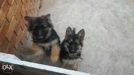 Pedigree German Shepard pups for sale R1500 neg