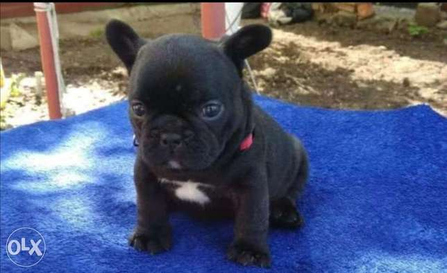 French bulldog puppies, imported with all dcs.. All colors are availab