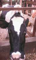 Fast selling fresian cow