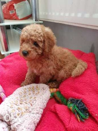 Stunning Cockapoo Puppies