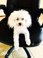 A cute little poodle called Snow White looking for a forever home