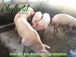 Clean Quality Duroc Boers