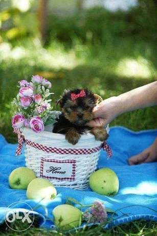 """The most Gorgeous Yorkshire puppies """"Imported with all documents"""""""