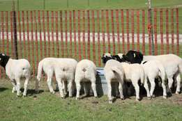 400 young growing up lambs