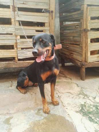 Female adults Rottweiler Ibadan Central - image 7