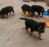 Male Alsatian Puppy for sale