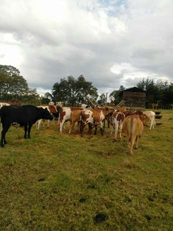 50 bulls on sale Eldoret North - image 4