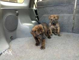 Male and female boerboel puppy for sale