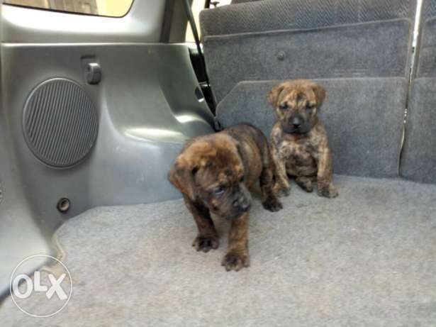 Male and female boerboel puppy for sale Garki II - image 1