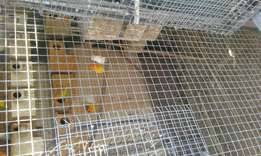 Lovebirds breeding pair R350