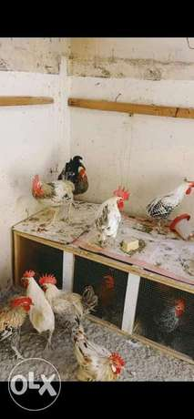 Big roosters for sale . For eating and breeding
