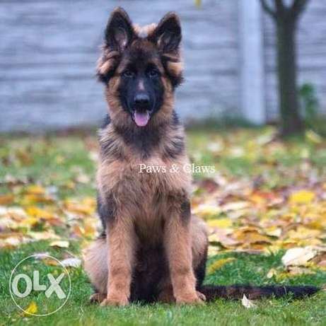 our beautiful long-haired German Shepherd will grow a very good size.