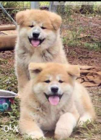 Best of the best imported Japanese Akita puppies with all documents