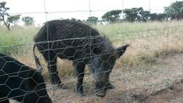 European bushpig male for sale/swop