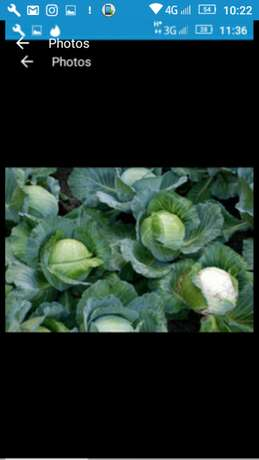 Fresh cabbages ready from the farm Nakuru East - image 3