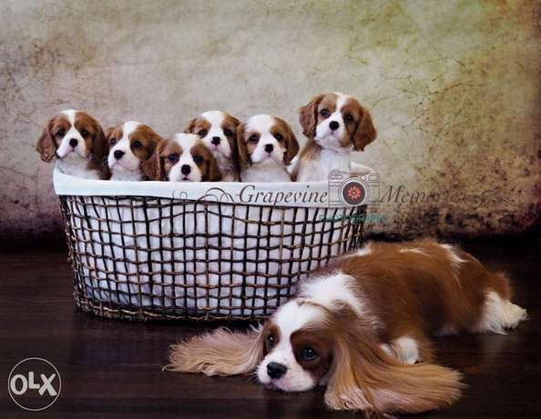 Cavalier Available Now