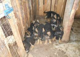 German Shephard Puppies for sale 5 remaining
