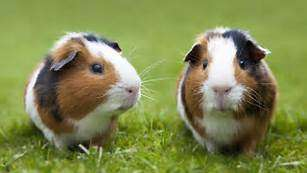 healthy golden and white cute Guinea pigs South 'C' - image 2