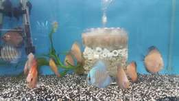 Discus 2 for R500