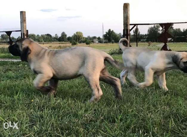 Super High Giant Kangal Puppies