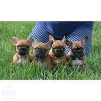 French Bulldog Puppies (We accept banker's cheque) high quality