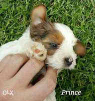 Blueberry Yorkshire Terrier for sale