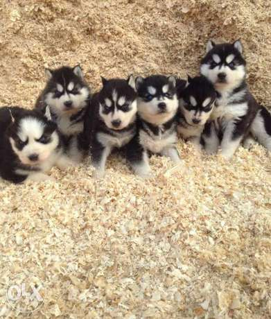 Siberian husky blue eyes puppies for sale