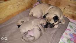 Adoreable Pug Puppies For Sale