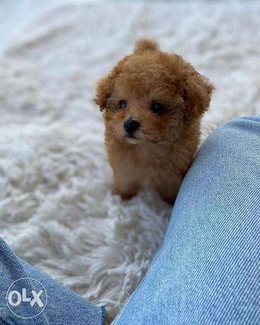 Orion– Teacup Poodle Puppy الغرافة -  2